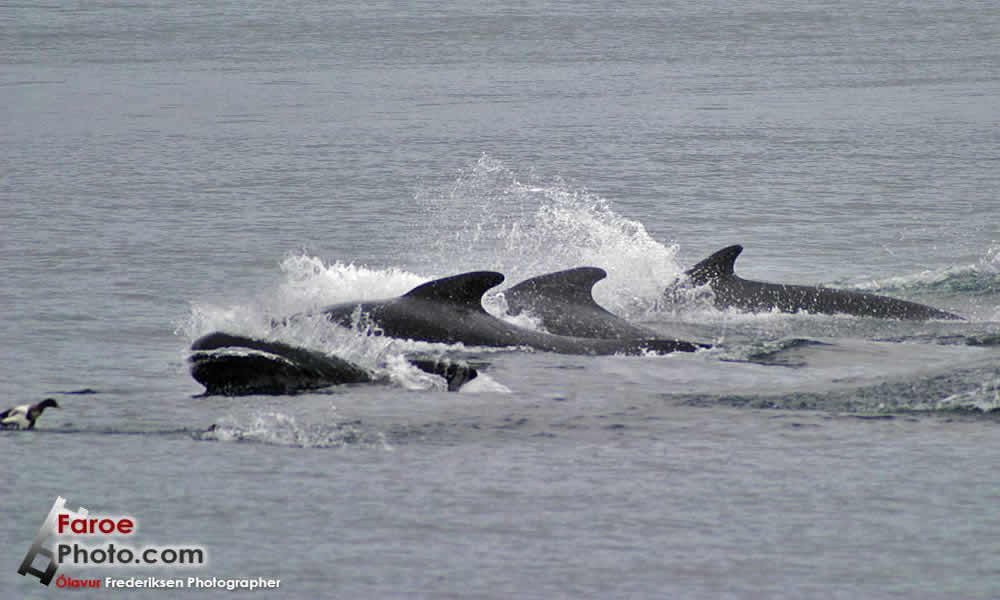 Faroe Islands Pilot Whales