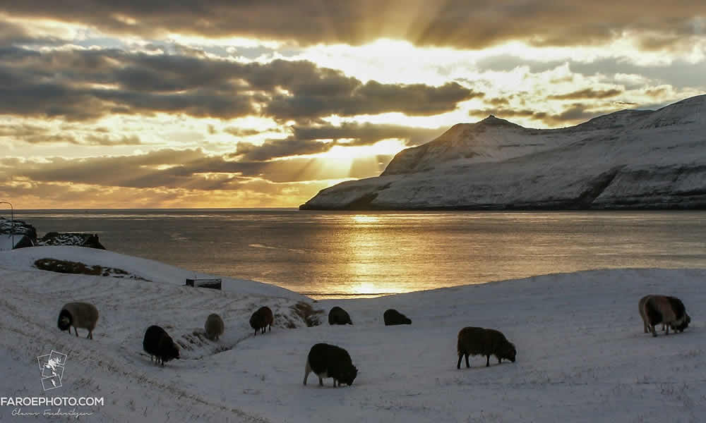 Faroe Islands Winter Sheep